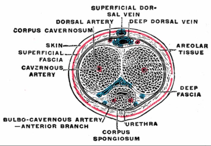 Penile Mondor's disease | Urology News